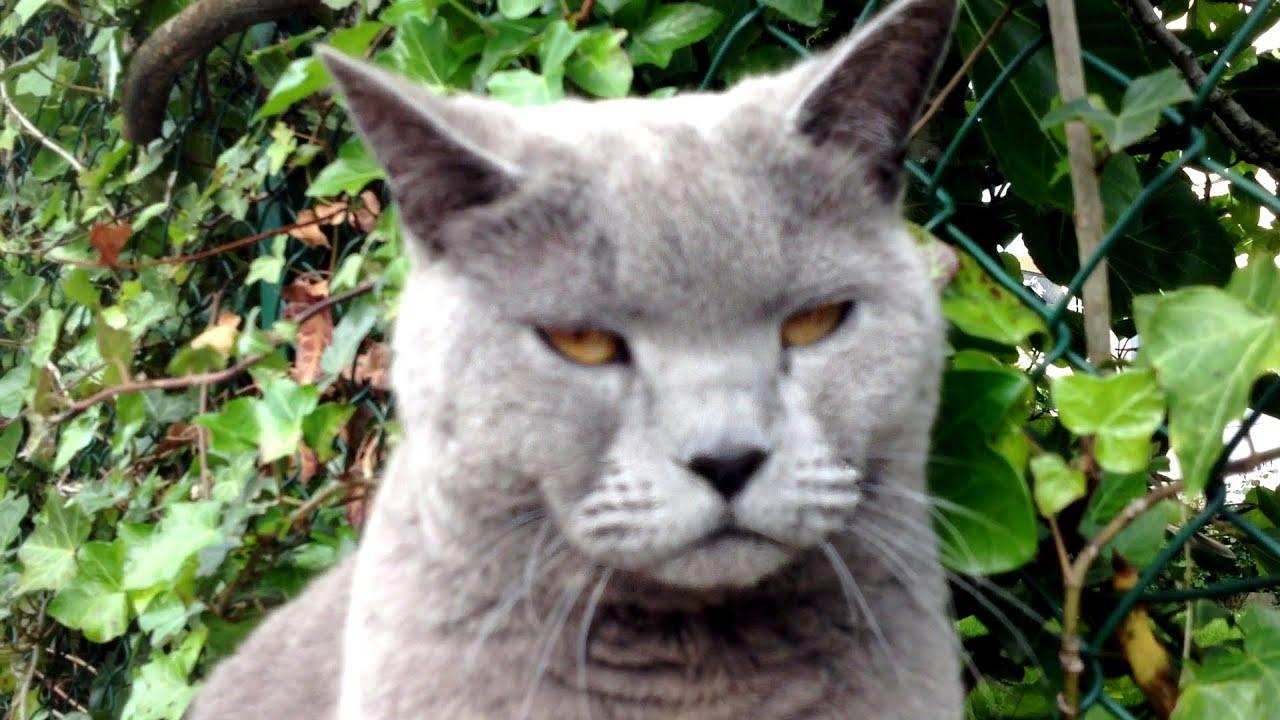 Chat Chartreux Grognon Qui Se Prend Pour Grumpy Cat YouTube