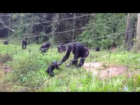 Bipedal Bonobo brings baby over to check us out