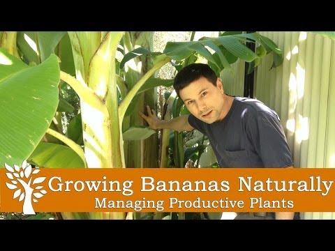 Growing Bananas Naturally - Managing Productive Plants
