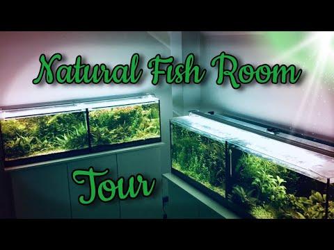 Endler's Livebearer/Guppy Natural Fish Room Tour
