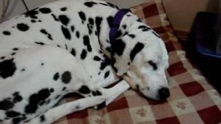 Snoring Dalmatian