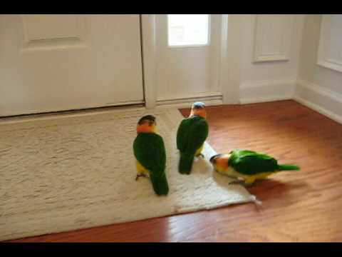 12 week old baby white bellied caiques