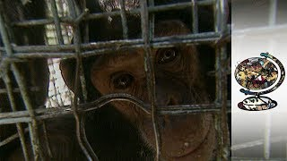 Chimps - Uganda