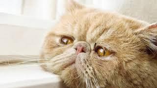 Exotic  Cat Breed  Pet Friend