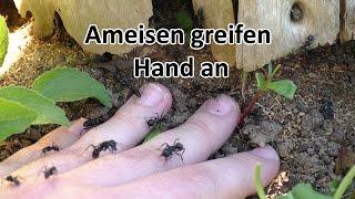 Camponotus vagus: Aggressivität