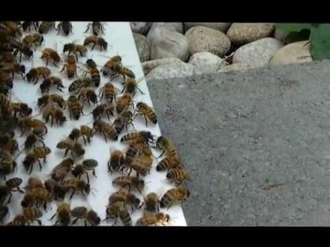 Wasps Vs. Honey Bee Guards!