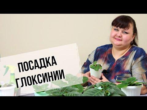 Глоксинии на фитиле   Посадка клубней в горшочки