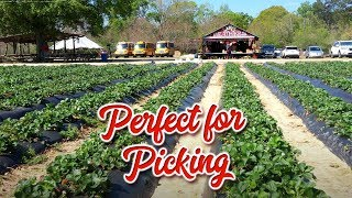 Perfect For Picking - Mrs. Heather's Strawberries