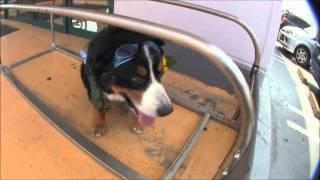 素人の私が犬に初めてバリカンとハサミを入れて、バーニーをサマーカッ...
