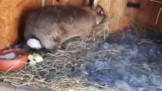 мечта кроликовода , все крольчихи рожают в один день