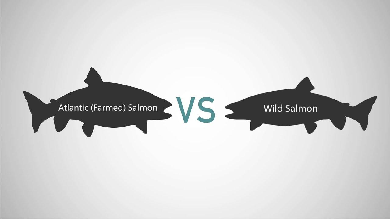 Farmed Salmon vs Wild Salmon - YouTube