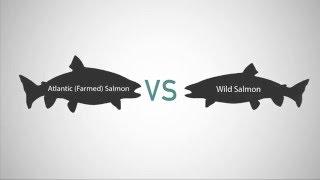 Farmed Salmon vs Wild Salmon