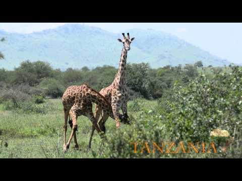 African Safarti - Tanzania - Ngorongoro Conservation Area