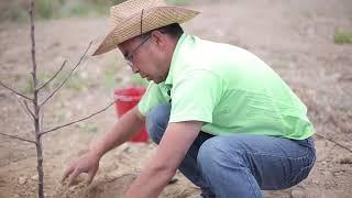 Видео урок 2 по выращиванию подвоев и саженцев фруктовых деревьев.