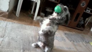 Shihtzu  Inteligente   Recupera   Su Pelota / Shihtzu Puppy Sitting With His Ball /shihtzu  Training