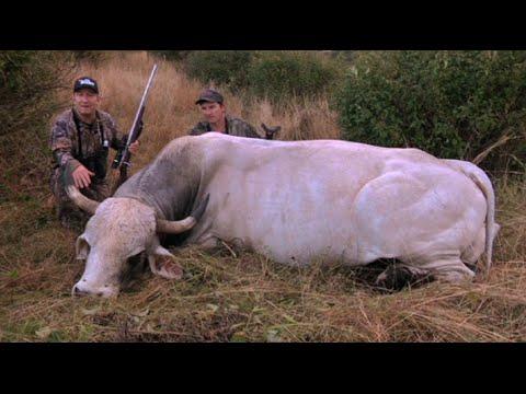 Download Caza del toro salvaje australiano