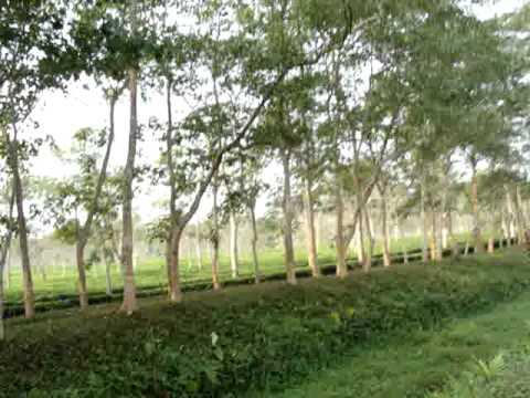 Drive Through An Assamese Tea Estate