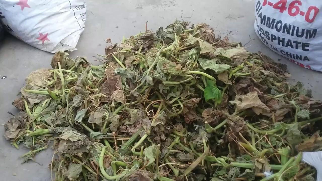 Cách ủ Dây bầu , Dây mướp , lá nhãn lá khế làm phân hữu cơ bón cho rau tốt cực kỳ | Khoa Hien 89
