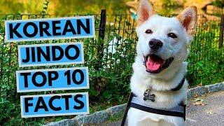 Korean Jindo  TOP 10 Interesting Facts
