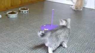 Британские породные котята,редкий  окрас на серебре