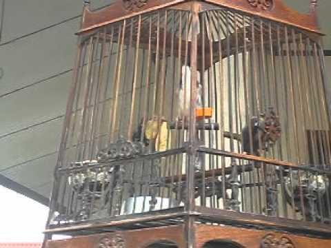นกกรงหัวจุกชื่อรามลากหวาย