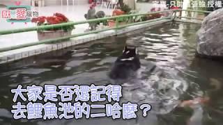 哈士奇看到池塘瞬間變成「哈士魚」!老母在岸邊已經傻眼欲哭無淚