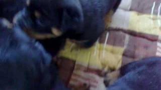 Rottweiler Puppies In Pakistan