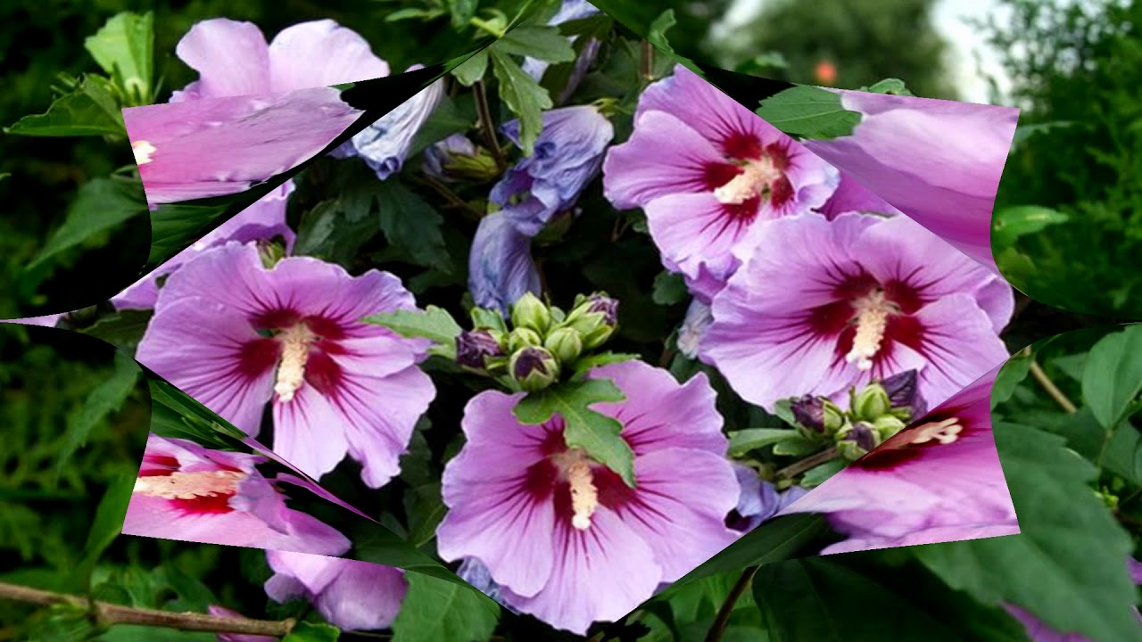 Hibiscus Rose Pansy Flowers Hd1080p Youtube