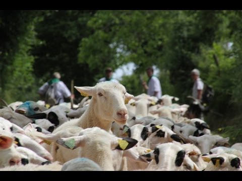 La Transhumance ovine traverse Boisset (Cantal-Auvergne)
