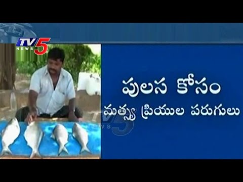 Pulasa  Everyone's Favorite Fish | Godavari Costly Fish Pulasa | Telugu News | TV5News