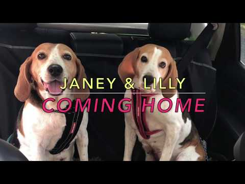 Janey & Lilly - Rescued English Foxhounds first day at their new home