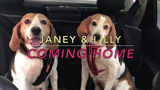 Janey & Lilly - the English Foxhounds dog were rescued in pretty ba...