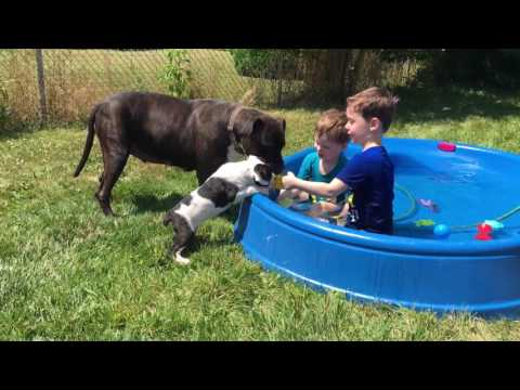 Cane corsos playing with kids