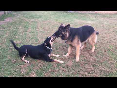Tug of War - Maggie the German Shepherd VS Benny the Australian Kelpie