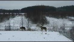 Lappeenrantalainen Jarno Rajala kohtaa susia usein työmaallaan