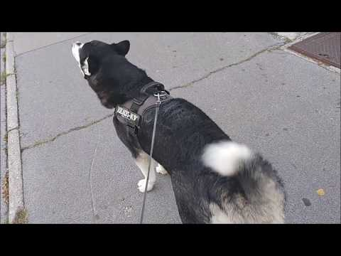 Alaskan Malamute howls during the walk