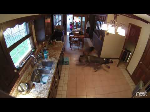Vicious Dog Fight-German Shepherds Going At It