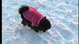 Poodle Toy Djulija Weariing Shoes And Jacket.wmv
