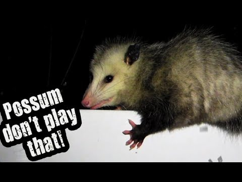 hqdefault possum don't play that! youtube