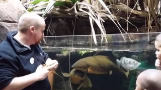Lung Fish feeding