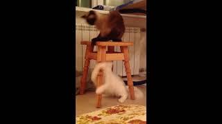 Кошка Ангора турецкая Ангора батл 1 VS сиамская кошка