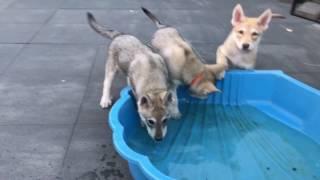 Saarloos Wolfdog puppy's