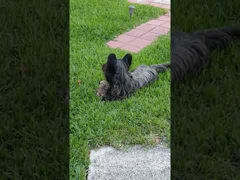 Nelson The Skye Terrier Squirrel Woes