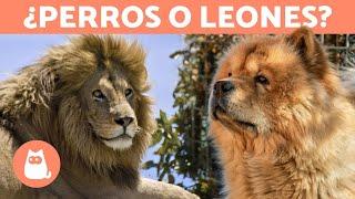 10 PERROS que parecen LEONES  ¡Descúbrelos!