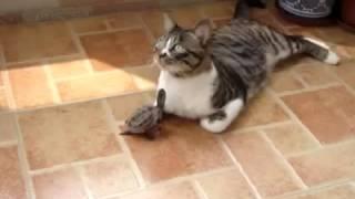 Черепашка пристаёт к коту