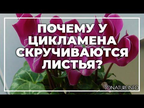 Почему у цикламена скручиваются листья в домашних условиях? | toNature.Info