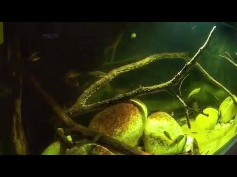 Central America Nicaragua Biotope Aquarium
