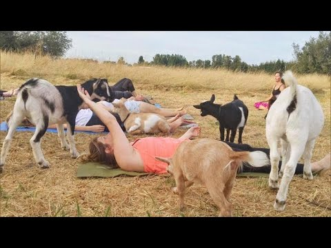 Goat Yoga, the latest craze