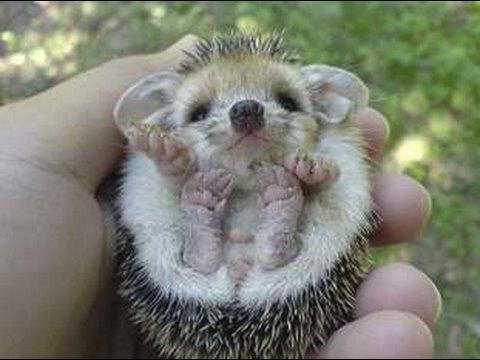 Hello, Hedgehog! : Ultra Kawaii