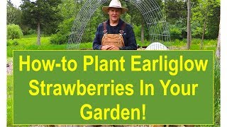 Tips and Ideas on How-to Plant Earliglow Strawberries in Your Garden